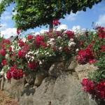Natursteinmauer mit Rosen The Fairy, Swany und Bassino