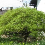 Acer palmatum Dissectum (Geschlitzter Fächer-Ahorn)1