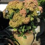 Hydrangea Neu Sorten (Hortensie)
