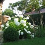 Vorgarten mit Hydrangea Annabell (Hortensie)1